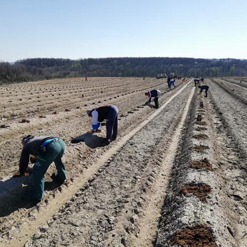 radnici sade borovnice u supstrat bankovi
