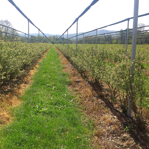 rows of blueberry and anti-hail nets with grassed aisle