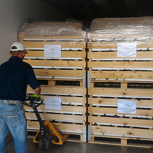 viljuskar pakuje palete sadnice borovnice
