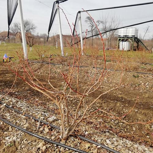 orezana biljka borovnice zima