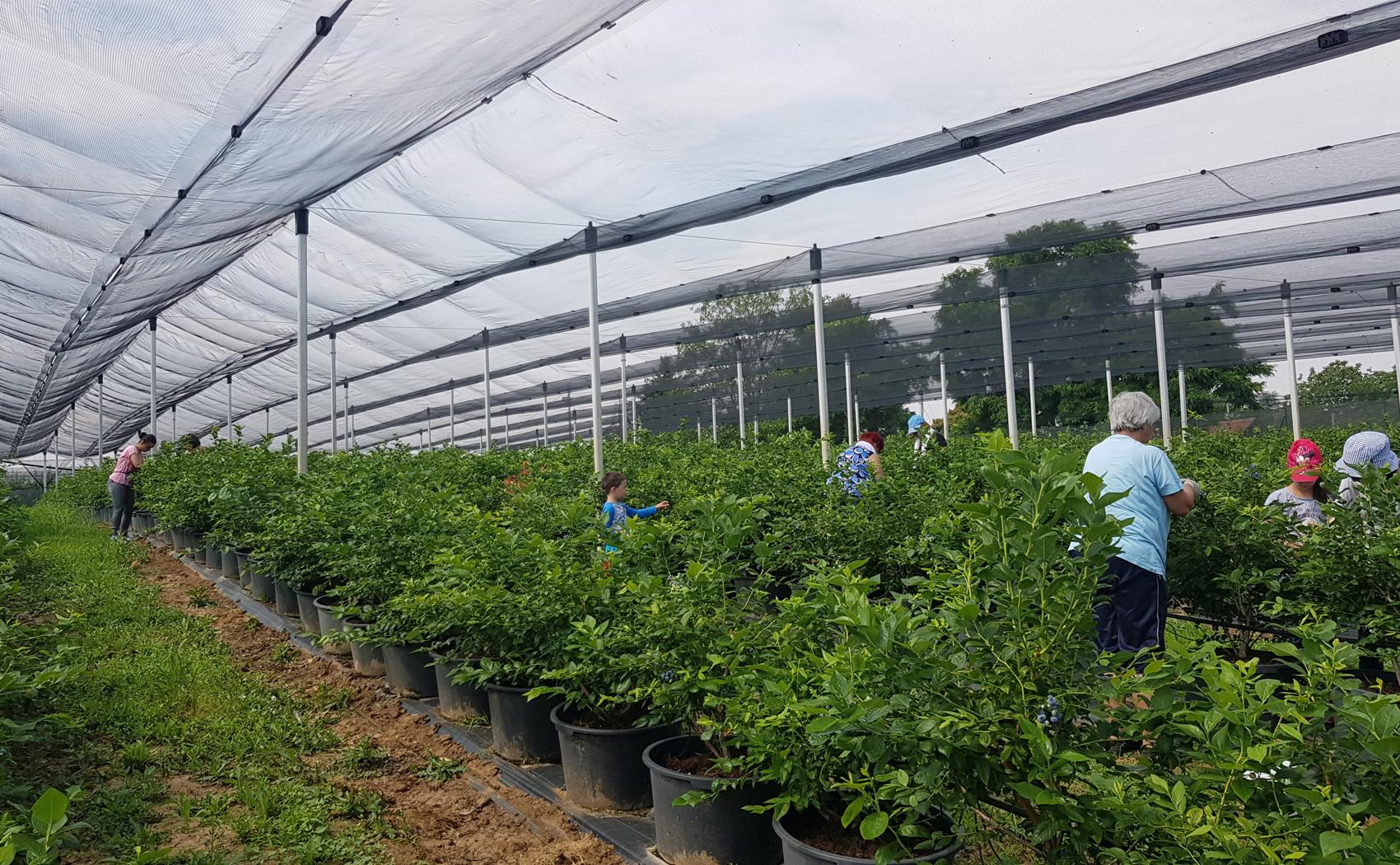 beraci borovnica na plantazi biljke u saksiji