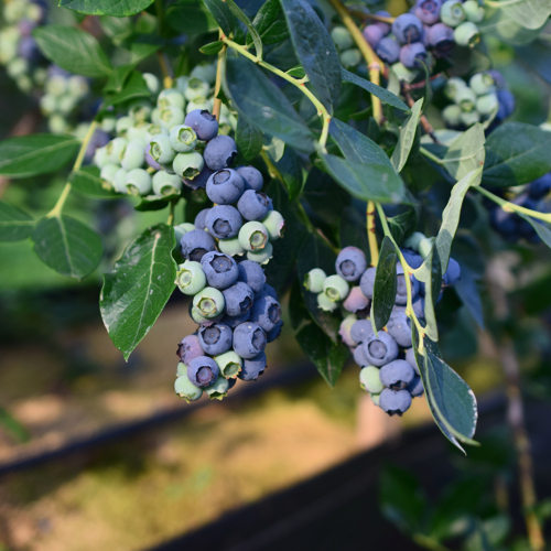 poluzreli grozdovi borovnica vise sa grane