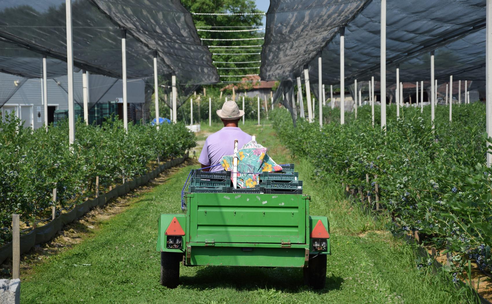 traktor vuce prikolicu sa gajbama zrele borovnice