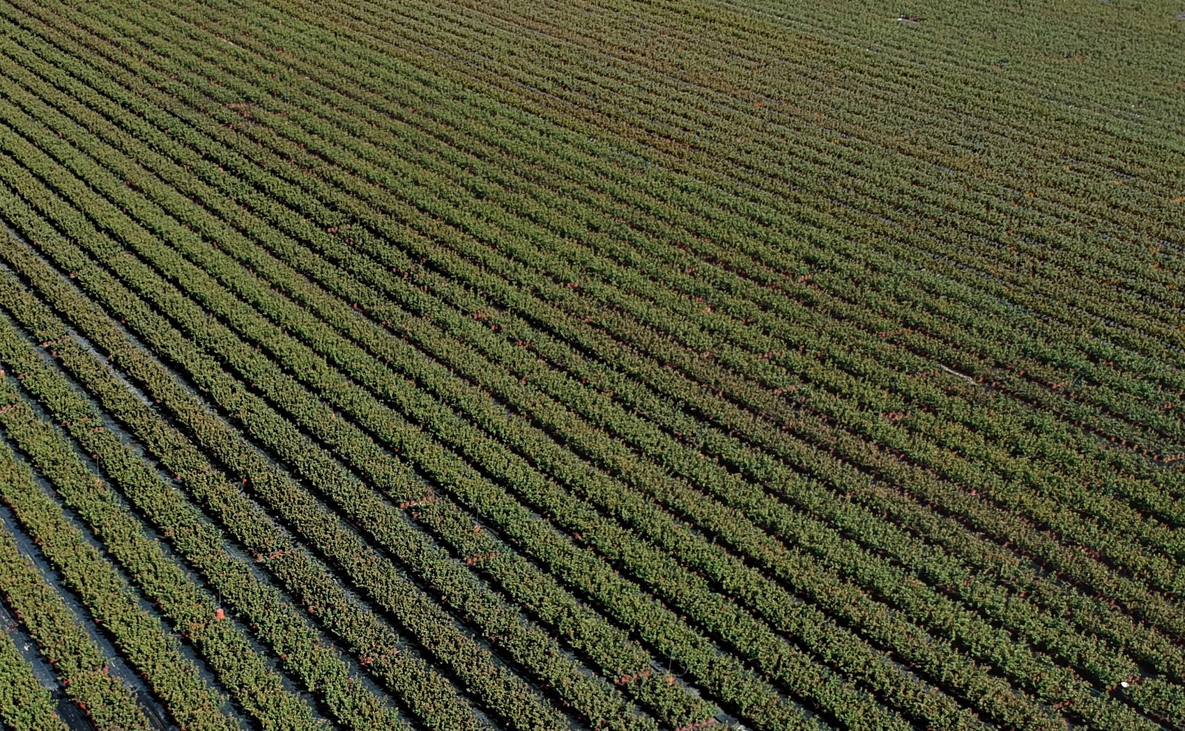 dron foto redovi saksije sadnica borovnica u rasadniku