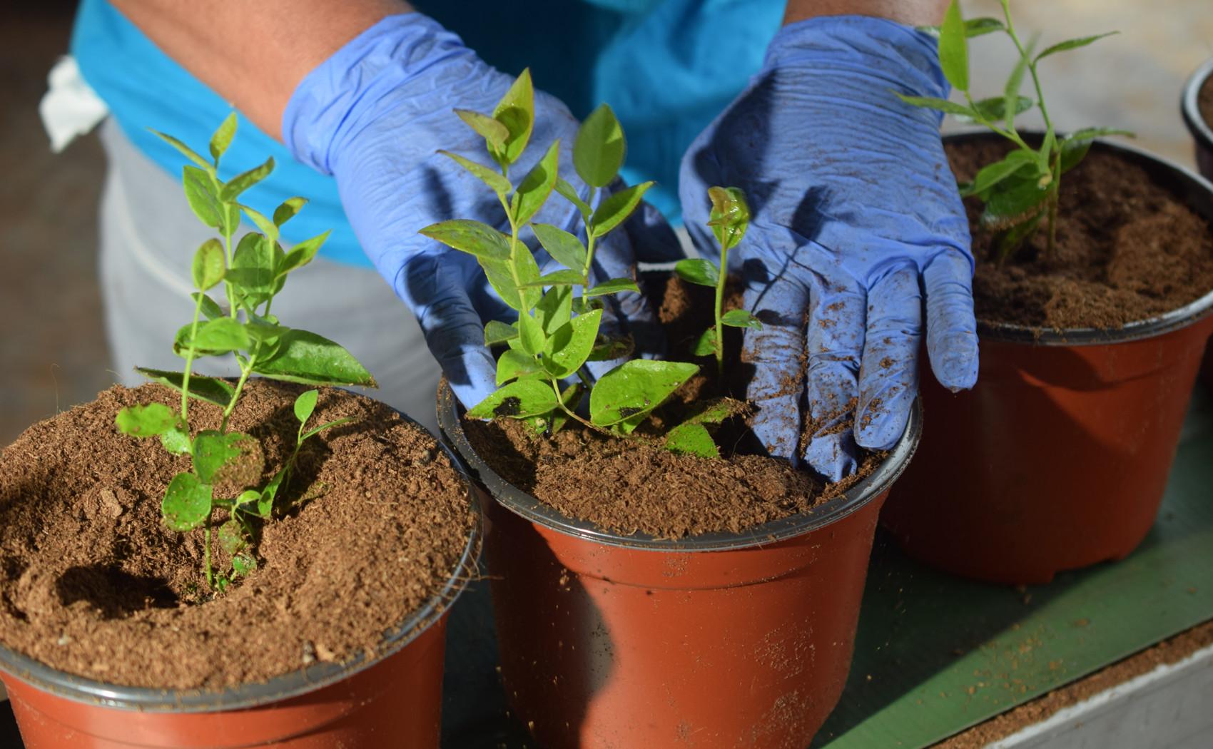 presadnjivanje sadnica borovnice u saksije