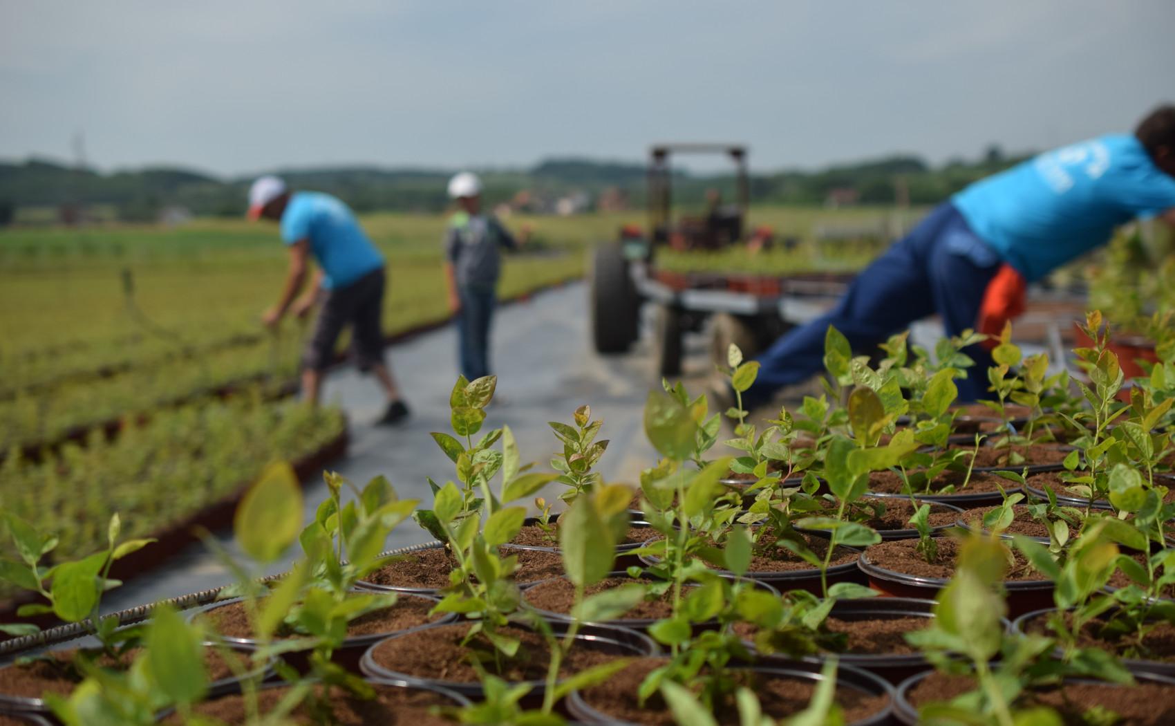 radnici rasporedjuju sadnice borovnica u saksijama u rasadniku