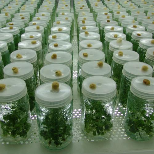 klonovi biljka u teglama u laboratoriji