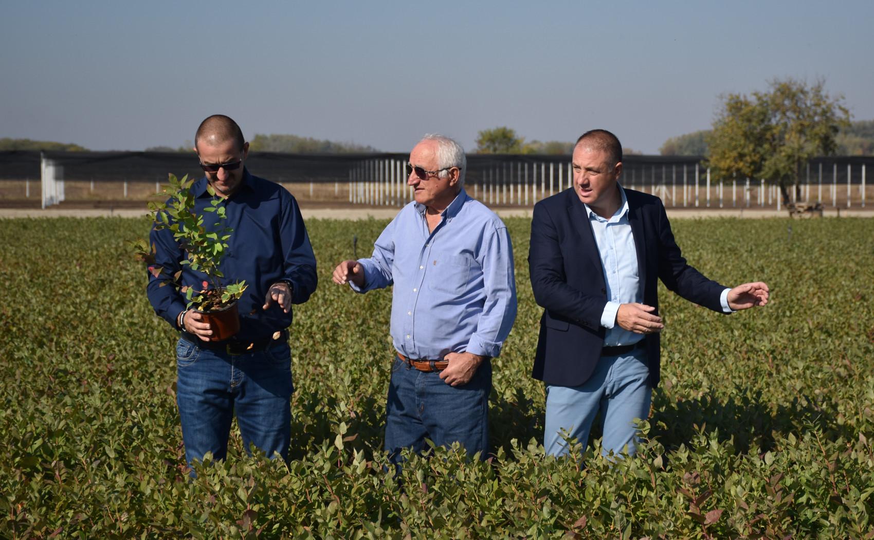 otac i dva sina i sadnice borovnica