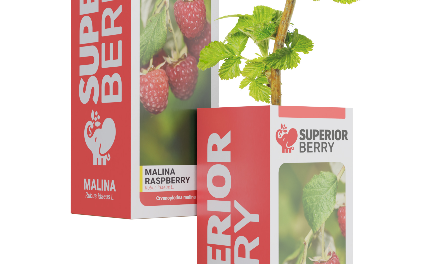 superior berry raspberry seedling in the box