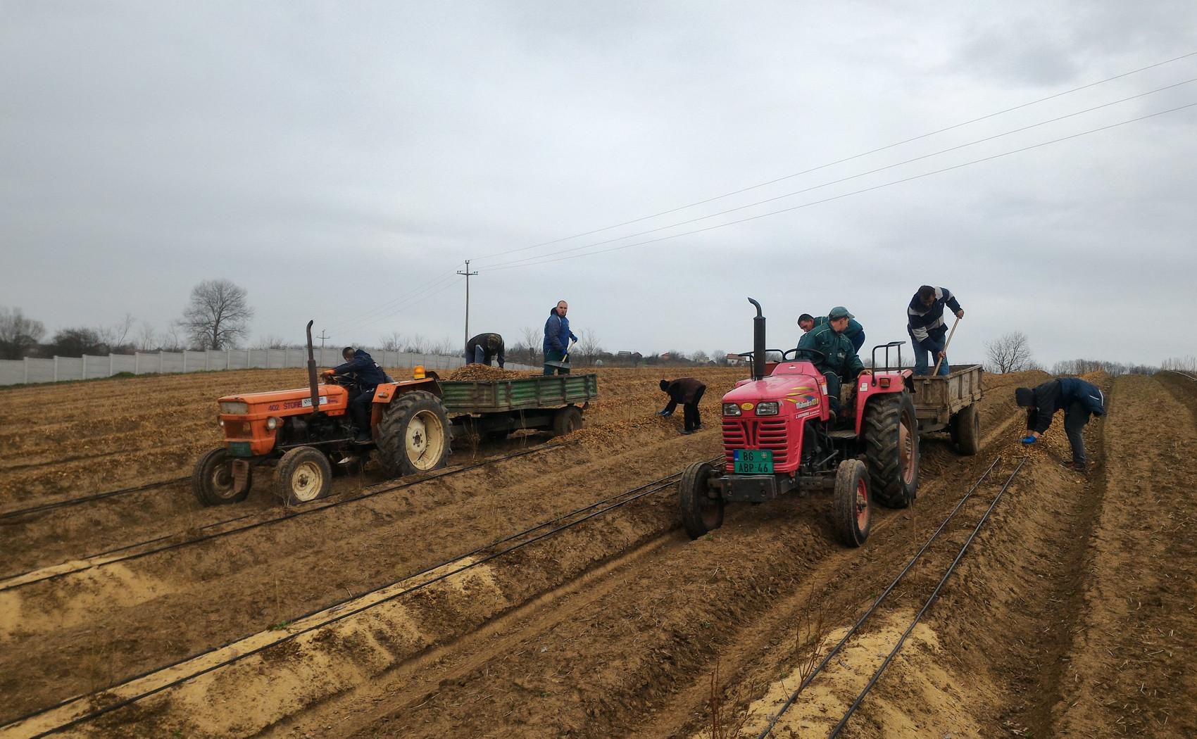 radnici postavljaju mulch na bankove oko borovnica